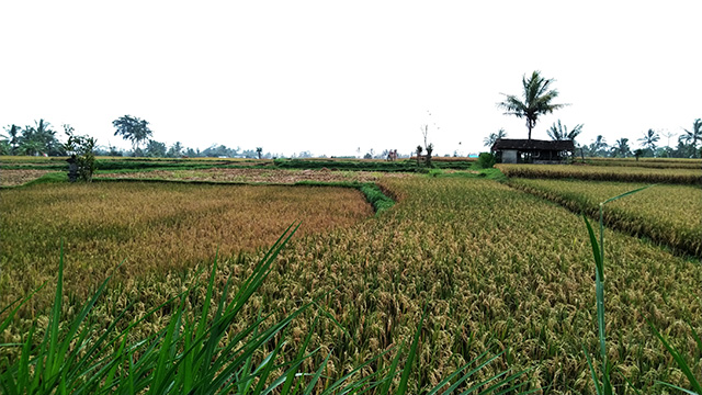 稲刈り後の田んぼ風景