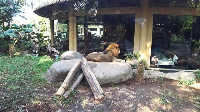 サファリジャーニー(ライオン)