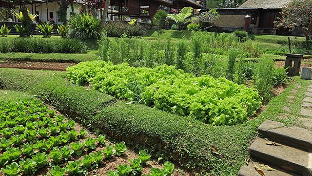 自家菜園で育った野菜